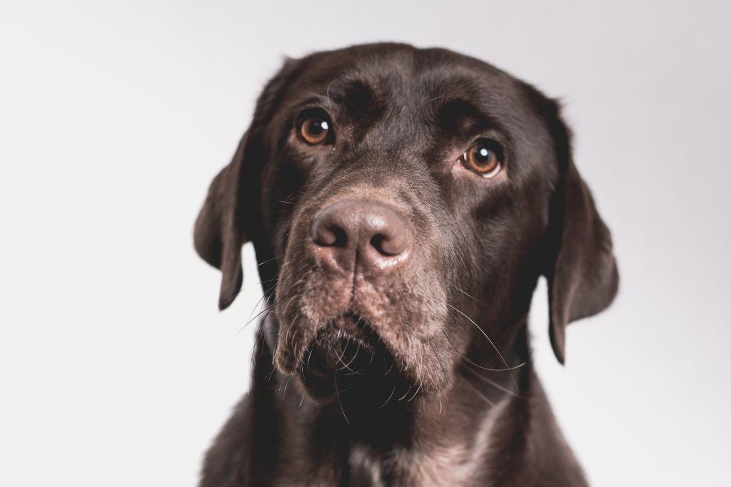 Der schönste Labrador auf der Welt.